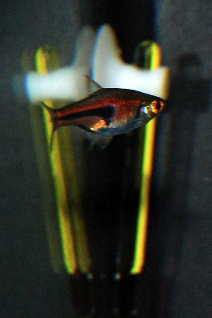 6 aquarium d 39 eau douce poisson flickr photo sharing for Poisson aquarium eau douce