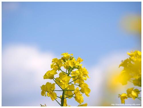 Field mustard $03