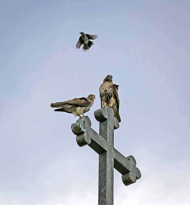 Two hawks and one blue jay atop St Brigid's
