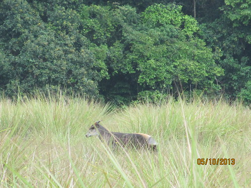 Yellow back duiker out on the savanna