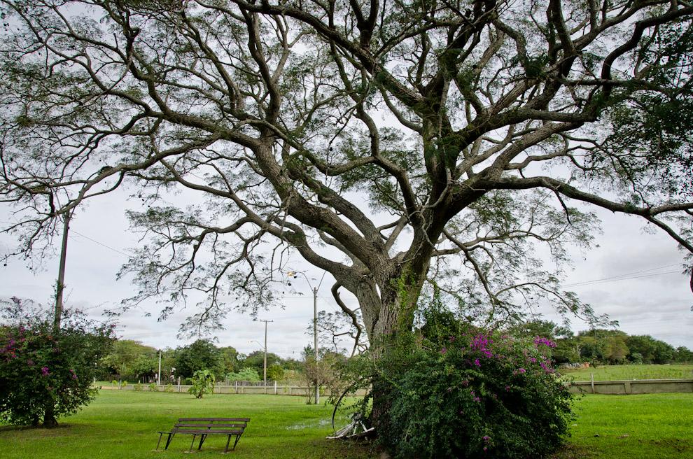 Grandes árboles con extensas ramas residen en la plaza de Las Residentas en la ciudad de Paso de Patria, Ñeembucú. A pesar de la vigencia del Otoño, aún puede apreciarse mucho verde en esta región. (Elton Núñez)