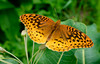 Great Spangled Fritillary by muscogeegirl