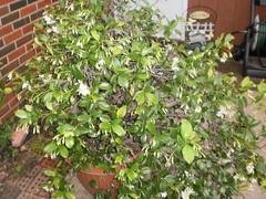 calamondin(0.0), produce(0.0), fruit(0.0), food(0.0), evergreen(1.0), shrub(1.0), flower(1.0), tree(1.0), plant(1.0), houseplant(1.0),