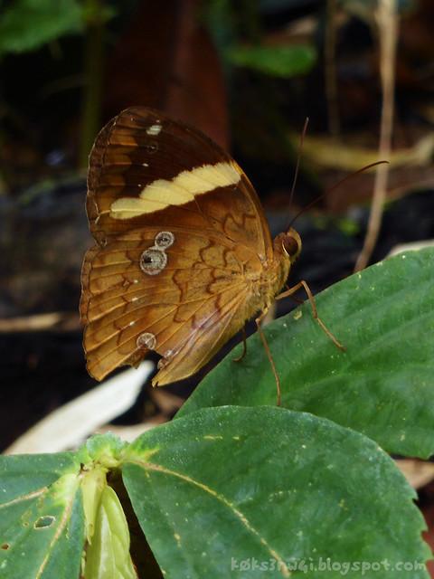 41 Bukit Serumbu Xanthotaenia busiris