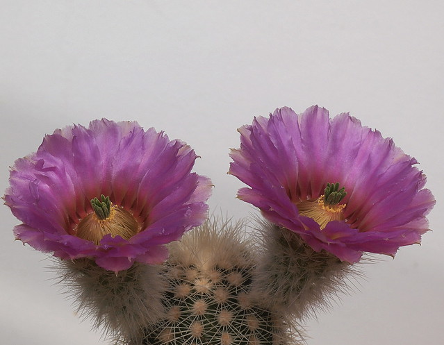 Echinocereus baileyi ssp. albispinus from Flickr via Wylio