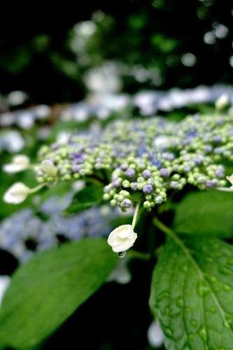 The flowers of Hydrangea in commuting 2014/06 No.5.