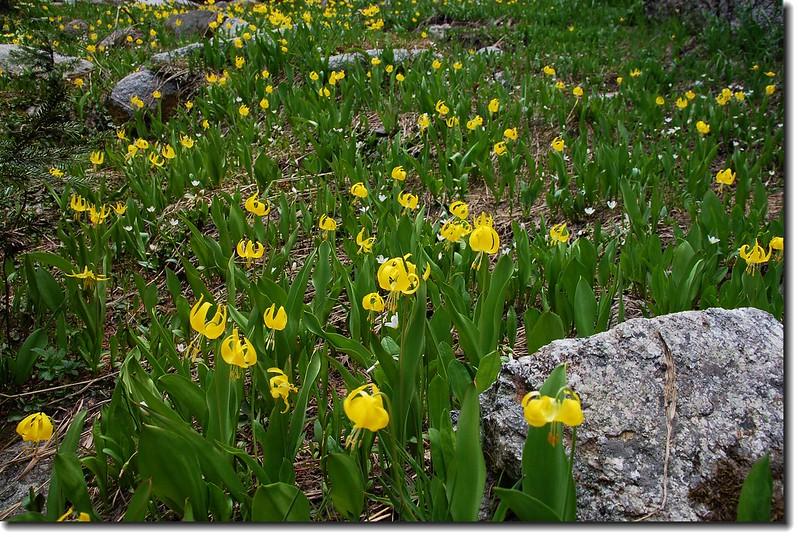 Glacier Lily 17