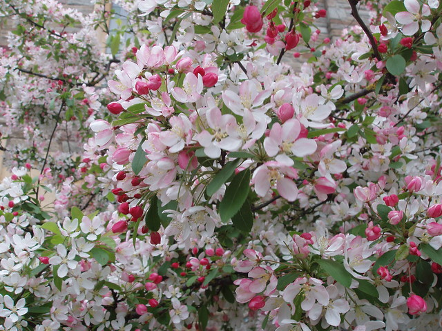 201404120103-pink-white-crab-apple-blossom
