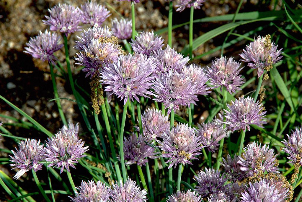 allium schoenoprasum o cebollino