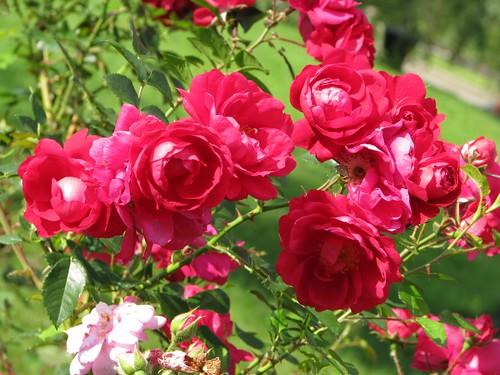 Kordesii rose