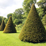 Clipped Yews