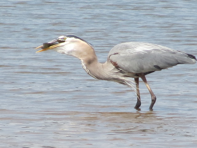 Great Blue Heron at Mason Neck State Park is part two for August's Featured Park of the Month.