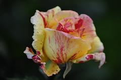 Une rose pour le week-end
