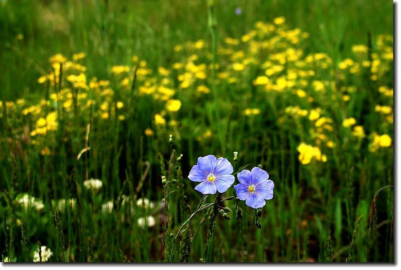 Wild Blue Flax 4