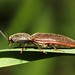 Click Beetle- Athous species