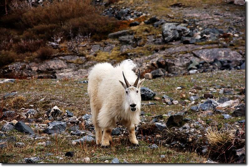 Mountain goats 6