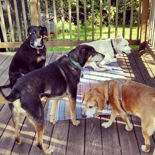 Happiness... Love my kids! #dogstagram #instadog #seniordog #ilovemydogs #ilovebigmutts #ilovemyseniordog #rescued