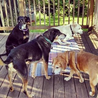 Happiness... Love my kids! #dogstagram #instadog #seniordog #ilovemydogs #ilovebigmutts #ilovemyseniordog #rescued