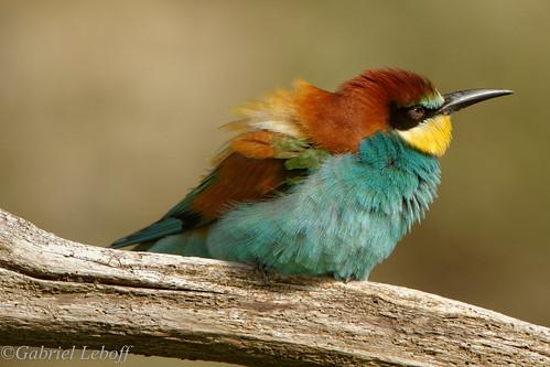 European bee-eater3320