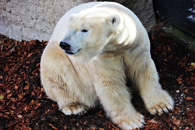 Eisbär Yoghi