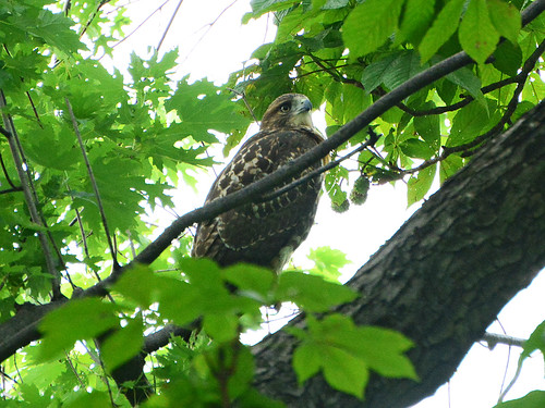 Juvenile Cathedral Hawk - 3889