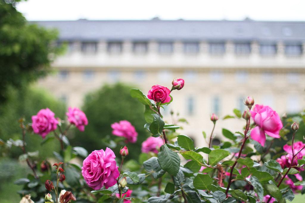 Palais Royal roses-11.jpg
