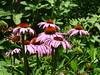 Echinacea purpurea - Roter Sonnenhut by Lukk2008