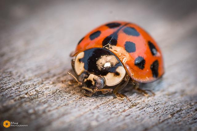 #Macro #Ladybird Tamron 90mm