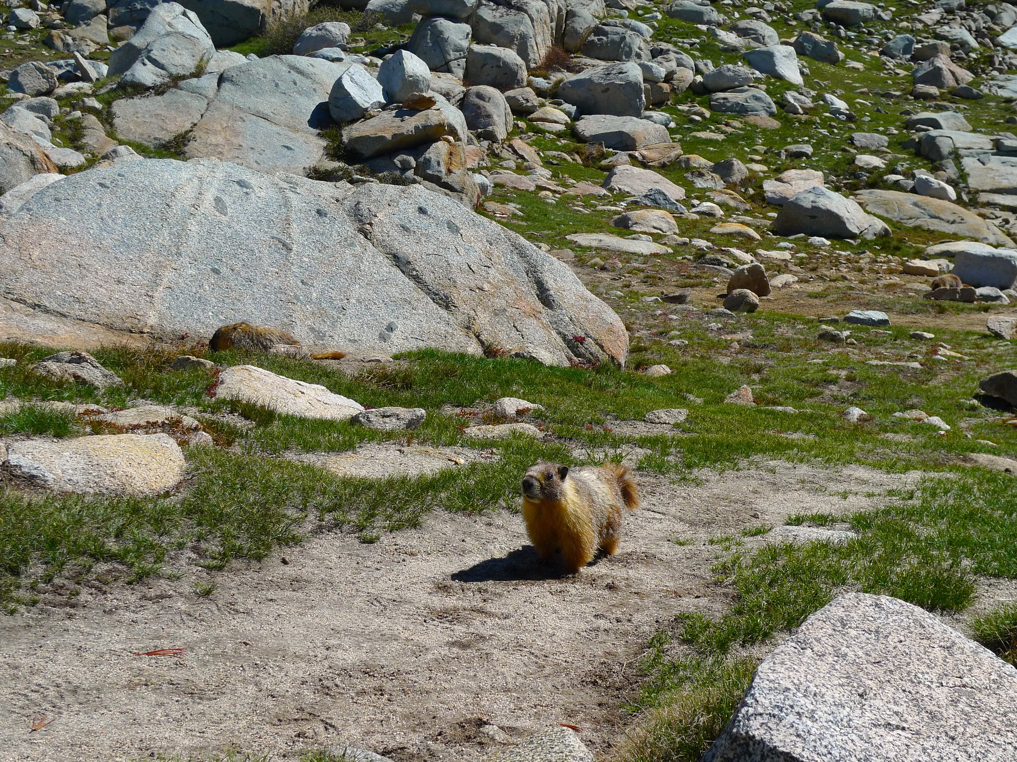 There are THREE marmots in this picture!!!