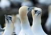 Gannets_Noss