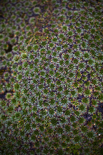 Carpet plants in Cajas National Park, Ecuador