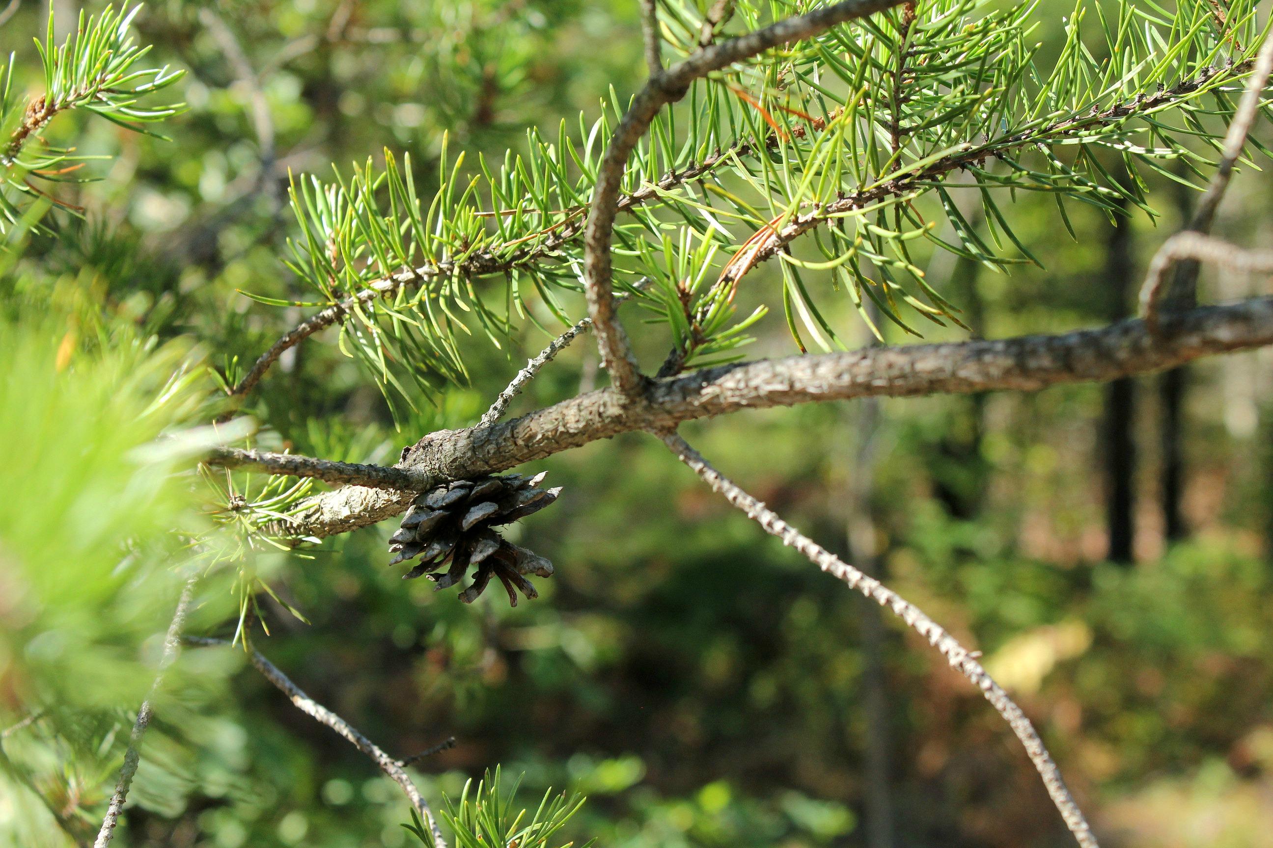 Gravenhurst pine cone