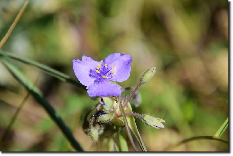 Western Dayflower