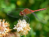 Sympetrum intime ♂ / Cherry-faced Meadowhawk