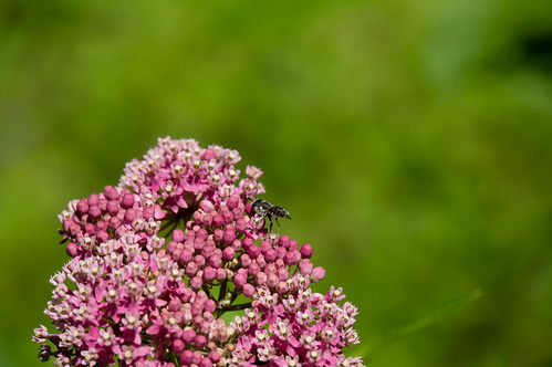 07508 Leaf Cutter Bee on Swamp Milkweed