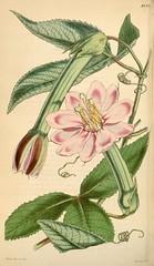 Passiflora mollissima - circa 1845