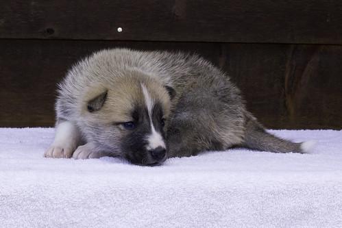 Anya-Litter1-20Days-Puppy5(Female)c