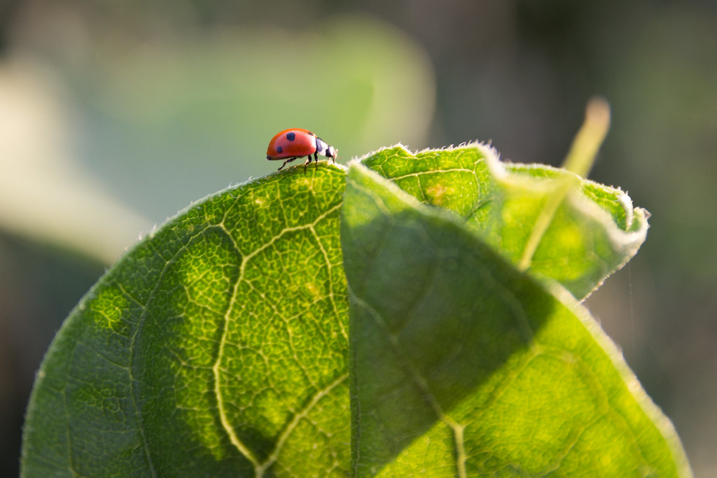 Ladybird on a sunflower leaf