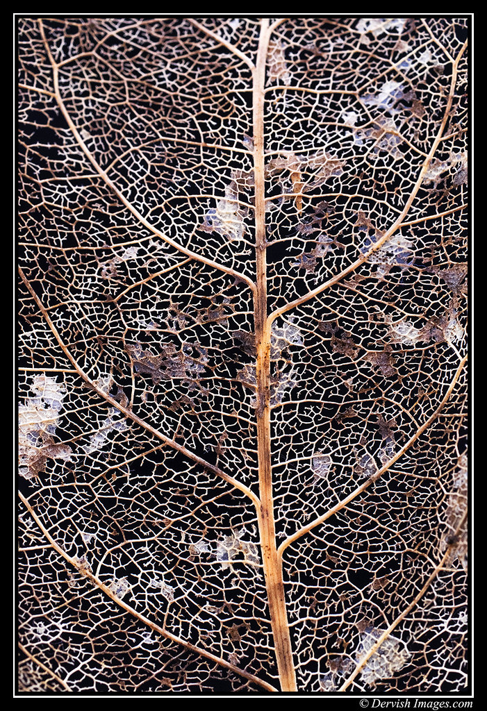 Leaf Skeleton # 4