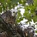 Mississippi Kite Chicks by Hudson Fam