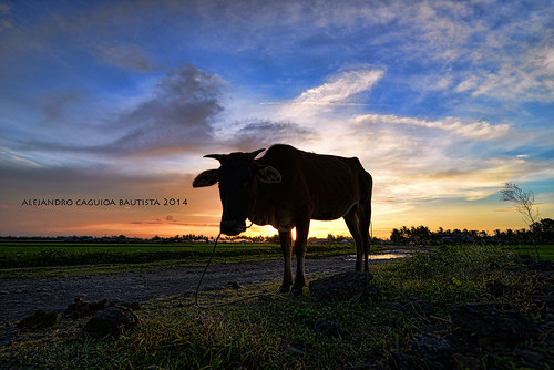 sunset sky colors grass animal silhouette clouds cow philippines fields nikond800 alfootography