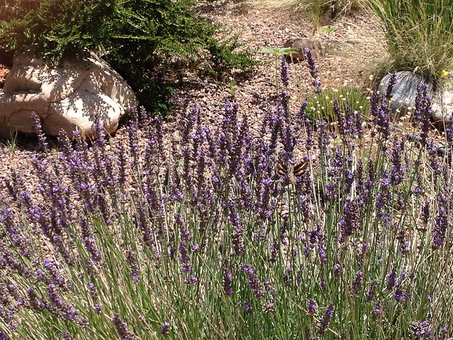 Lavender with humming birds