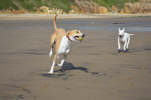 English Bull Terrier and a Lurcher