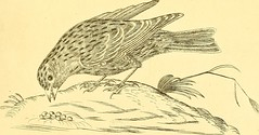 """Image from page 132 of """"Harmonia ruralis, or, An essay towards a natural history of British song birds : illustrated with figures the size of life, of the birds, male and female, in their most natural attitudes ..."""" (1794)"""