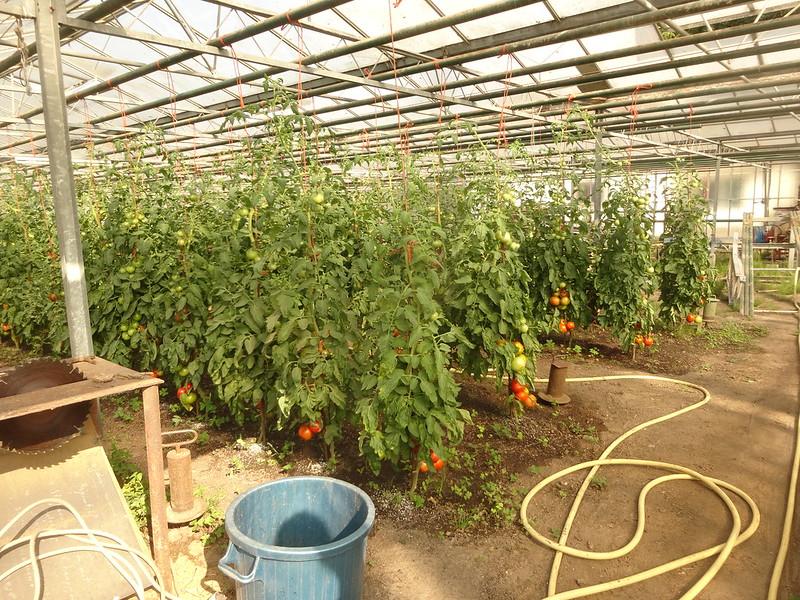 The tomatohouse