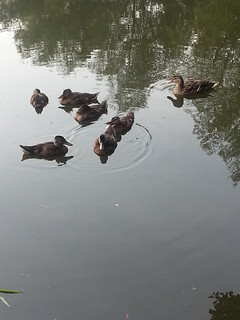 6 little ducks; quack, quack, quack, quack, quack, quack and mummy duck!