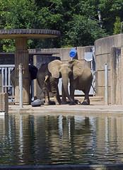 Memphis Zoo 08-31-2016 - Elephants 1