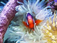 Memphis Zoo 08-31-2016 - Clown Fish and Anenome 2