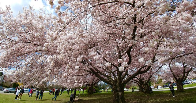 The largest cherry tree in Vancouver, BC