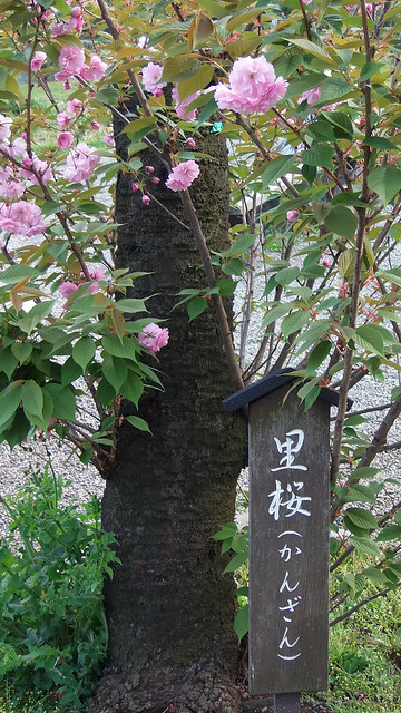 Photo:#1964 Prunus 'Kanzan' (カンザン) By Nemo's great uncle
